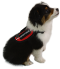 Small black, brown, and white puppy wearing a red ESA vest