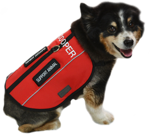 Small brown, black, and white puppy wearing a red ESA vest